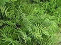 Thelypteris palustris Russia 3.jpg