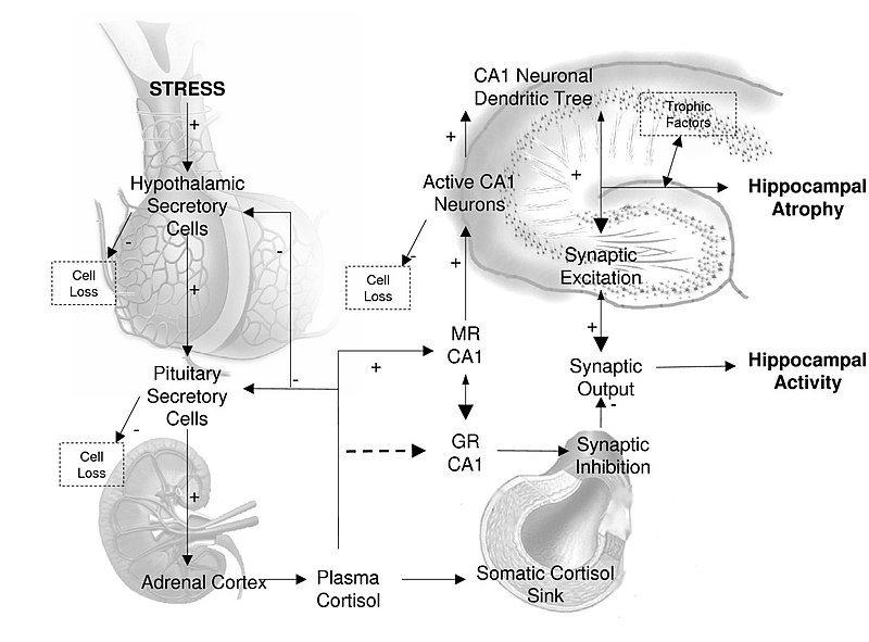 File:This figure describes the relationships between cortisol synthesis by the HPA axis and cortisol binding to hippocampal MR receptors with respect to synaptic firing at CA1 hippocampal neurons.jpg