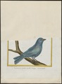Thraupis cyanoptera - 1700-1880 - Print - Iconographia Zoologica - Special Collections University of Amsterdam - UBA01 IZ15900251.tif