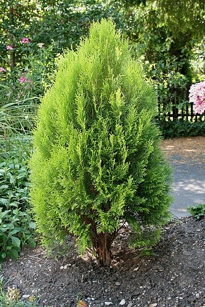 File thuja occidentalis june2008 jpg wikimedia commons for Tipos de pinos para jardin