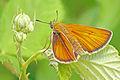 Thymelicus sylvestris, Small Skipper, Perperikon, Bulgaria, June 2015 (21669266082).jpg