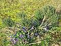 Thymus vulgaris in garden (2016) - Du thym dans les violettes.jpg