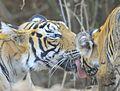 Tiger with cub.jpg
