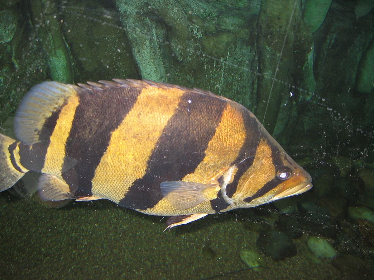 Siamese tigerfish wikipedia for Tiger fish pictures