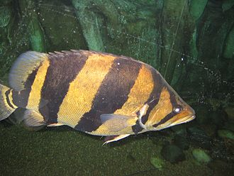 Brackish-water aquarium - A brackish water fish: Siamese tigerfish, Datnioides pulcher