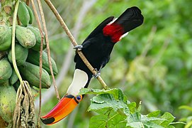 Toco Tucan (Ramphastos toco) eating papaya upside down ... - Flickr - berniedup.jpg