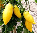 Tomate Banana Legs P1020490.JPG