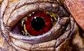 Tortoise Eye (35552957012).jpg