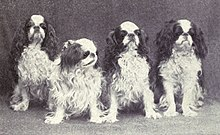 A black and white photo of four small spaniels sitting facing the camera. They each have similar markings.