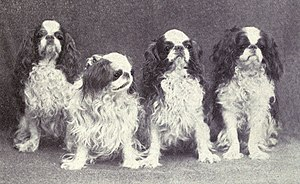 Spaniel - King Charles Spaniels, photographed in 1915, one of the smaller breeds, is primarily a lap dog.