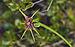 Tragopogon porrifolius australis, Sète 02.jpg