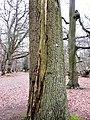 Tree Struck by Lightning near Ashridge Drive - geograph.org.uk - 1376373.jpg