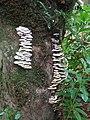 Tree fungus - geograph.org.uk - 1039808.jpg