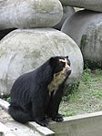 Tremarctos ornatus Zoo Rio03.jpg