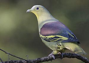 Grey-fronted green pigeon - Image: Treron pompadora affinis