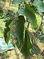 Trewia nudiflora 02.JPG