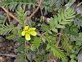 Tribulus terrestris Russia (flower).jpg