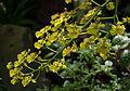 Trichocentrum cavendishianum au jardin des plantes.jpg
