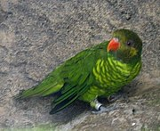 A green parrot with light-green stripes on the underside