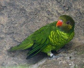Citrine lorikeet - T. flavoviridis meyeri at Loro Parque, Spain