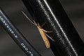 Trichoptera sp. (36199490400).jpg