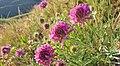 Trifolium thompsonii 3.jpg