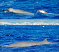 True's beaked whale observed off Pico.png
