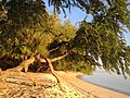 Trunks Trees and Beach.JPG