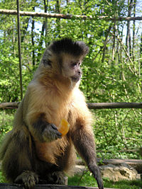 Tufted Capuchin.JPG