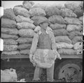 Tule Lake Relocation Center, Newell, California. An evacuee farmer ready to put a sack of newly dug . . . - NARA - 536387.tif
