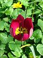 Tulipa pulchella cv. 03.JPG