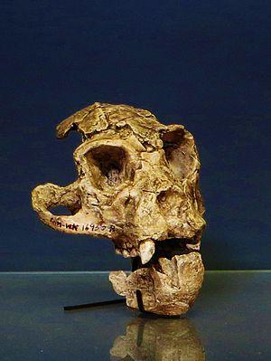 Proconsulidae - Turkanapithecus kalakolensis fossil, Muséum national d'histoire naturelle, Paris