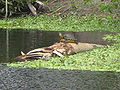 Turtle-on-log-green-cay-florida-mar08.jpg