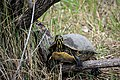 Turtle Red Belly, 01, NPSPhoto (9257773696).jpg