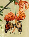 Two Monarch Butterflies.jpg