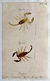 Two scorpions; Scorpius tauricus and Scorpius carpathicus. C Wellcome V0022394ER.jpg