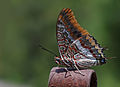 Two tailed Pasha.jpg