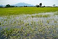 Typhoon Ketsana flooded rice field.jpg