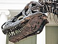 Tyrannosaurus rex (theropod dinosaur) (Hell Creek Formation, Upper Cretaceous; near Faith, South Dakota, USA) 23.jpg