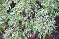 Ulmus × viminalis 'Pulverulenta'.jpg