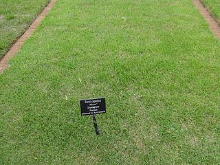 <i>Zoysia japonica</i>
