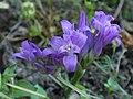 Unknown Purple 01 (5859595583).jpg