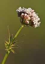 Valeriana officinalis - Niitvälja.jpg