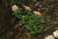 Valeriana tripteris PID1017-1.jpg