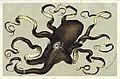 Van houtte octopus.jpg