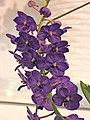 Vandachostylis Sasicha 'Blue Star' -台南國際蘭展 Taiwan International Orchid Show- (25970054997).jpg