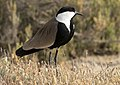 Vanellus spinosus - Spur-winged Lapwing 02.jpg