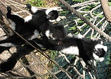Two juvenile black-and-white ruffed lemurs lying on their backs on a rope hammock in the sun, with arms and legs outstretched and eyes closed