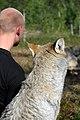 Varg fotograferad pa Polar Zoo Norge (5).jpg