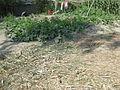 Vegetable field in a village in Bangladesh.JPG
